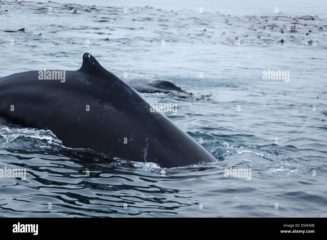Close up of humpback whale breaching amid pod of sea lions in ocean - Stock Image