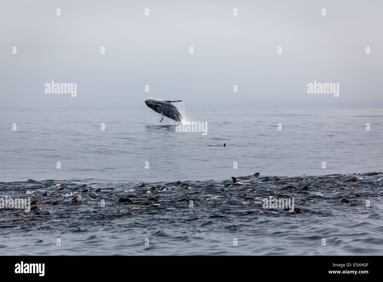 Humpback whale breaching with pod of sea lions engaged in a feeding frenzy in the foreground - Stock Image