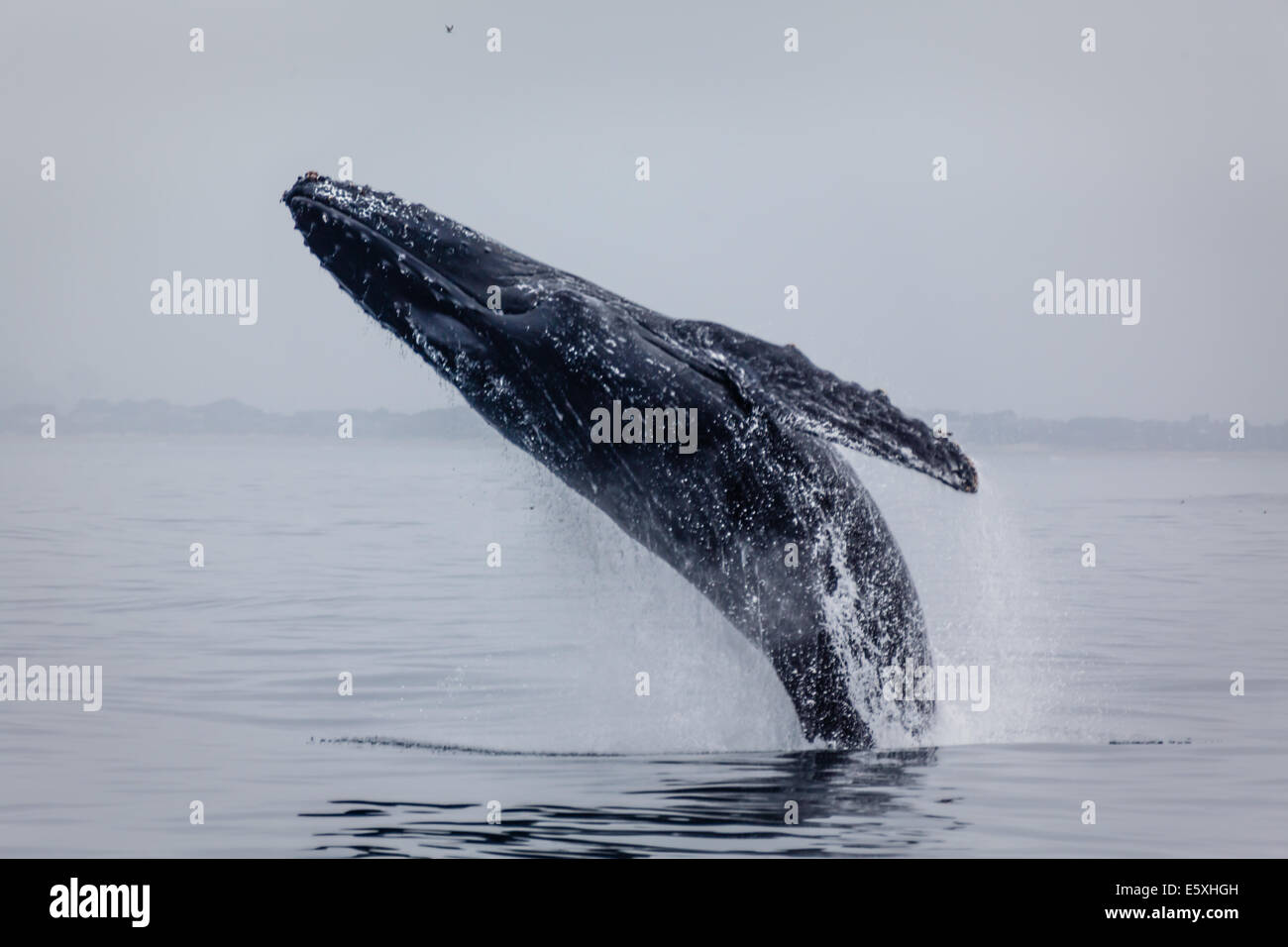 Close-up of humpback whale breaching high out of the water - Stock Image