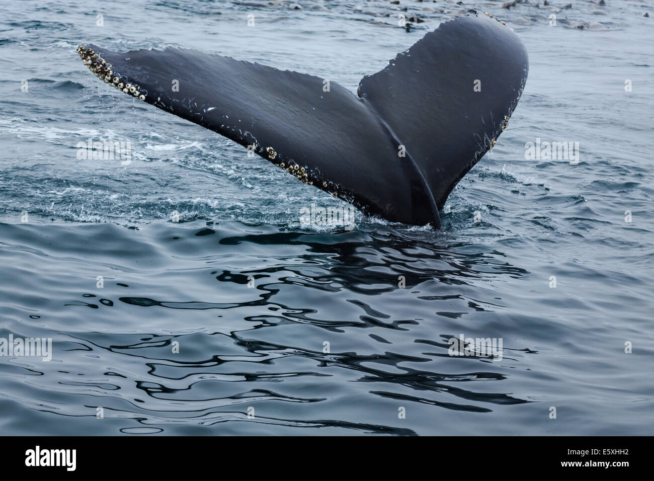 Close up of Humpback whale tail lobtailing off California coast during migration - Stock Image