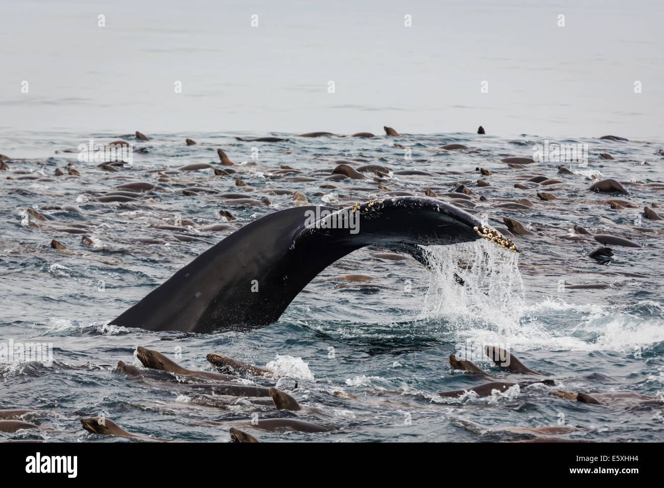 Humpback whale lobtailing with tail exposed and sea lions swarming around - Stock Image