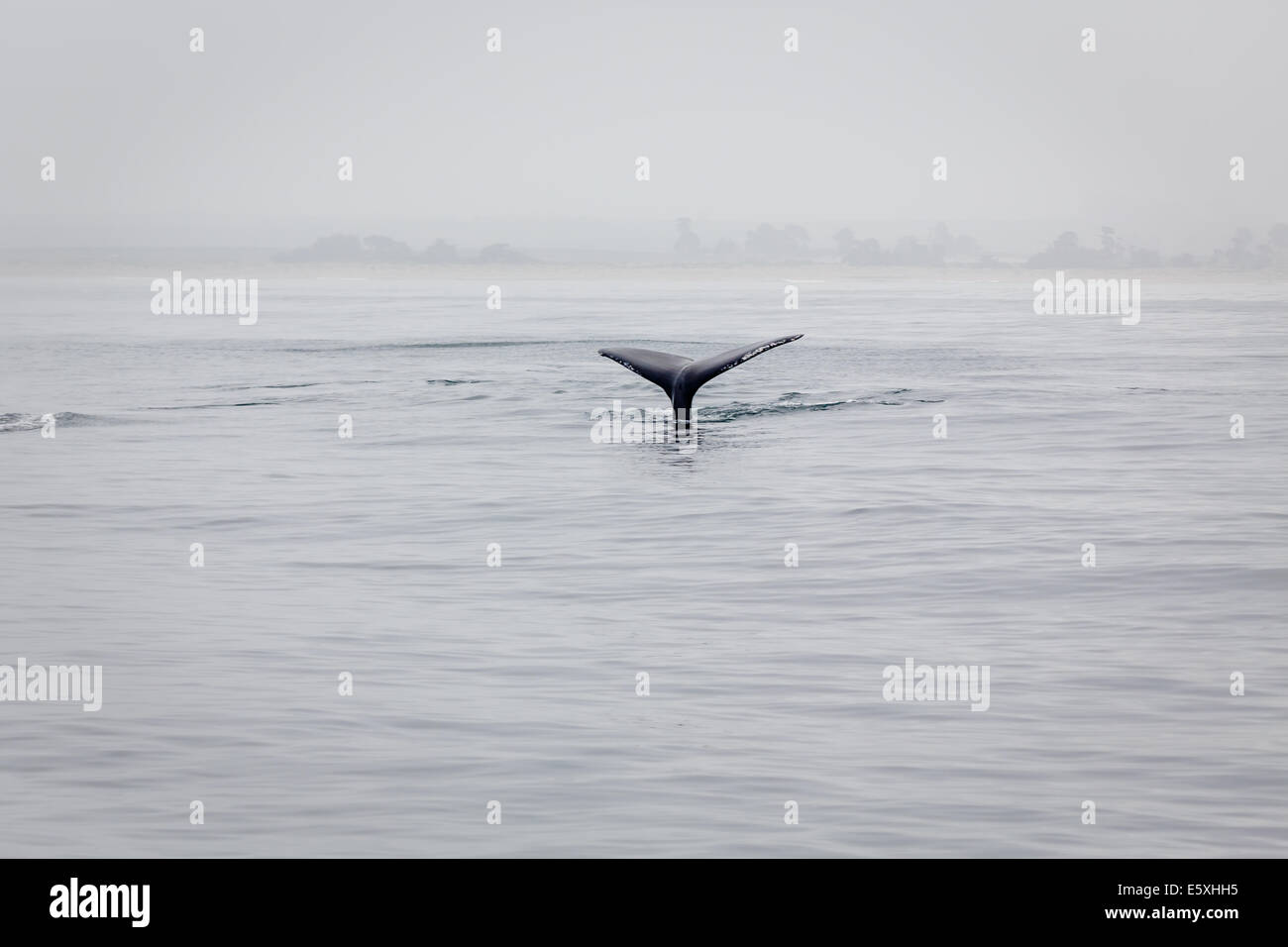 Lobtailing humpback whale's tail raises out of ocean in morning mist - Stock Image