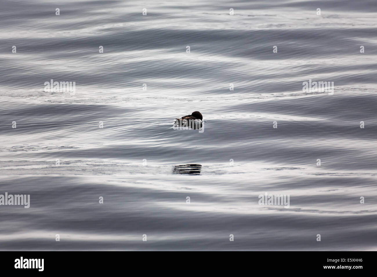 Ocean bird riding the waves in the morning light with reflection riding along - Stock Image