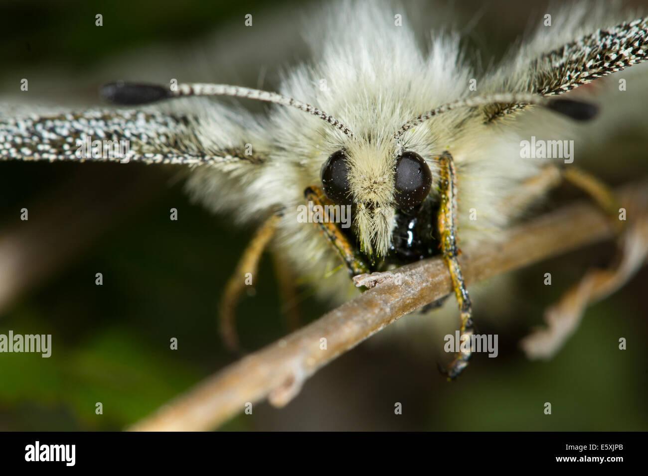 Apollo (Parnassius apollo) butterfly - Stock Image