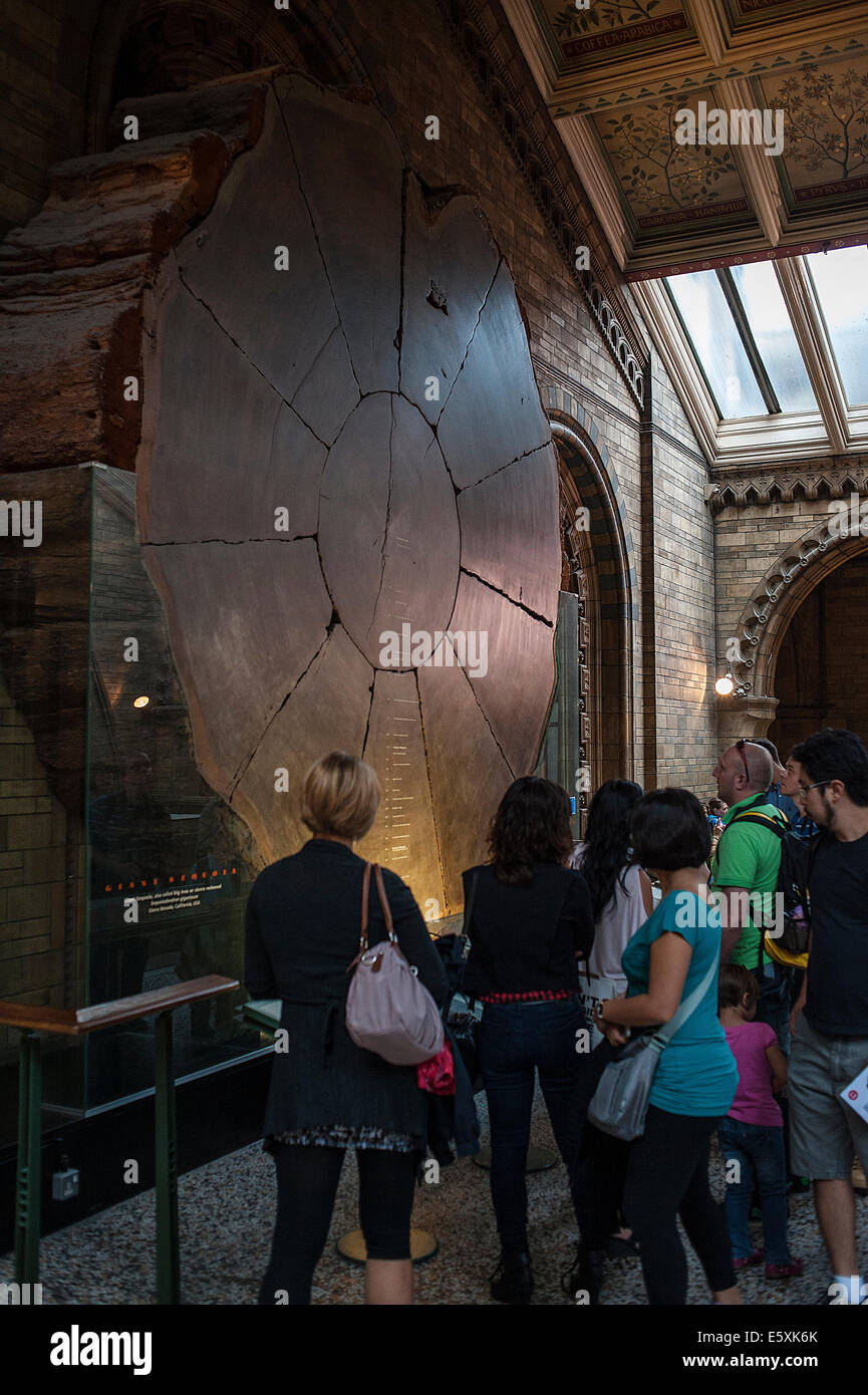Section of Sequoia sempervirens, Taxodiaceae, Natural History Museum, London, UK - Stock Image
