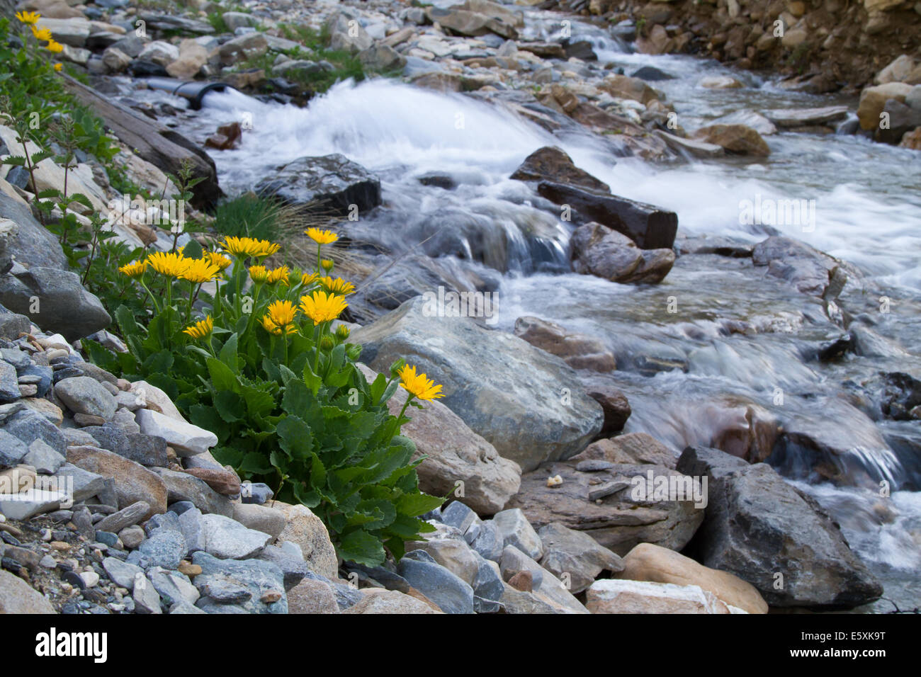 Large-flowered Leopardsbane (Doronicum grandiflorum) growing on a rocky riverbank - Stock Image