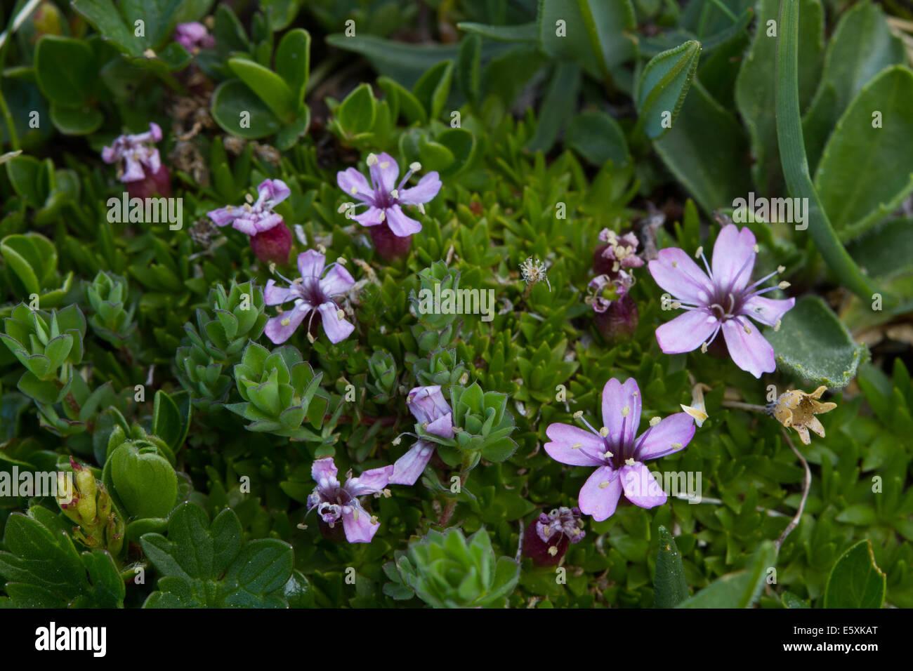 Cushion Pink (Silene acaulis) - Stock Image