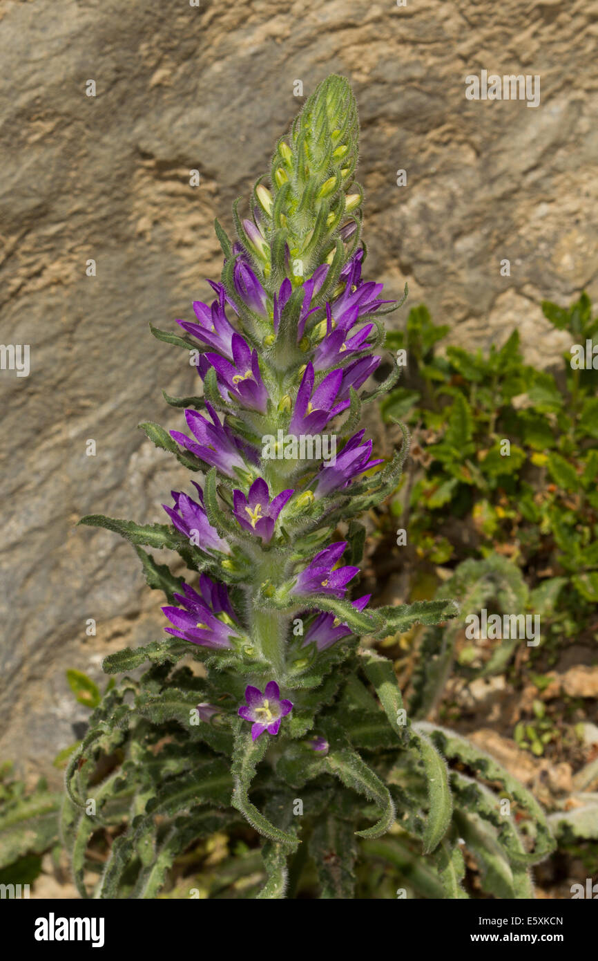 Spiked Bellflower (Campanula spicata) flower - Stock Image