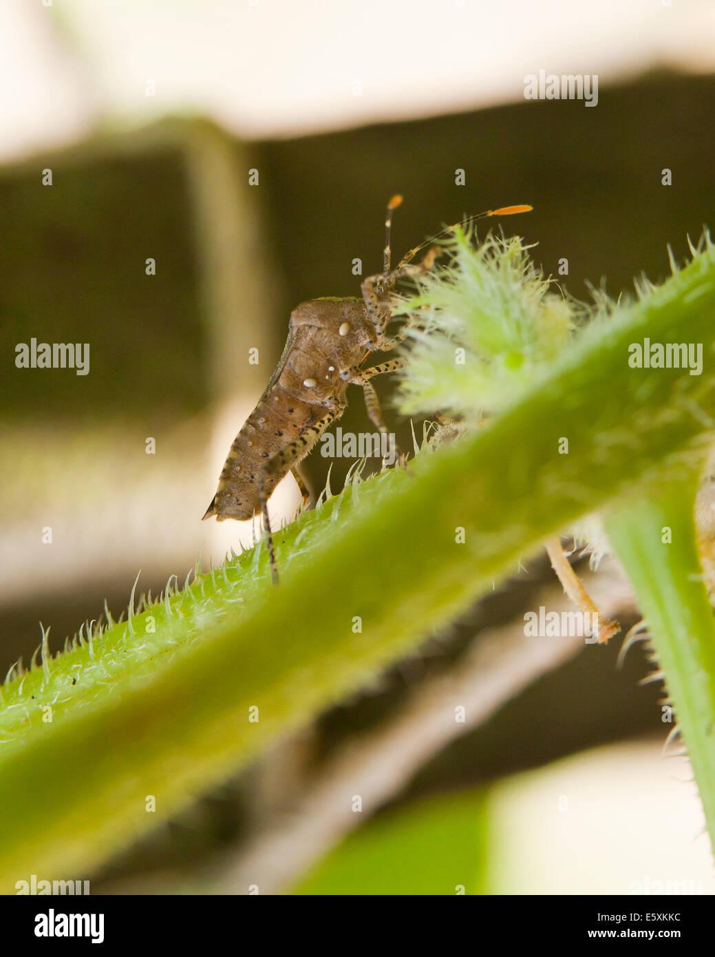 Squash bug (Anasa tristis) - USA - Stock Image