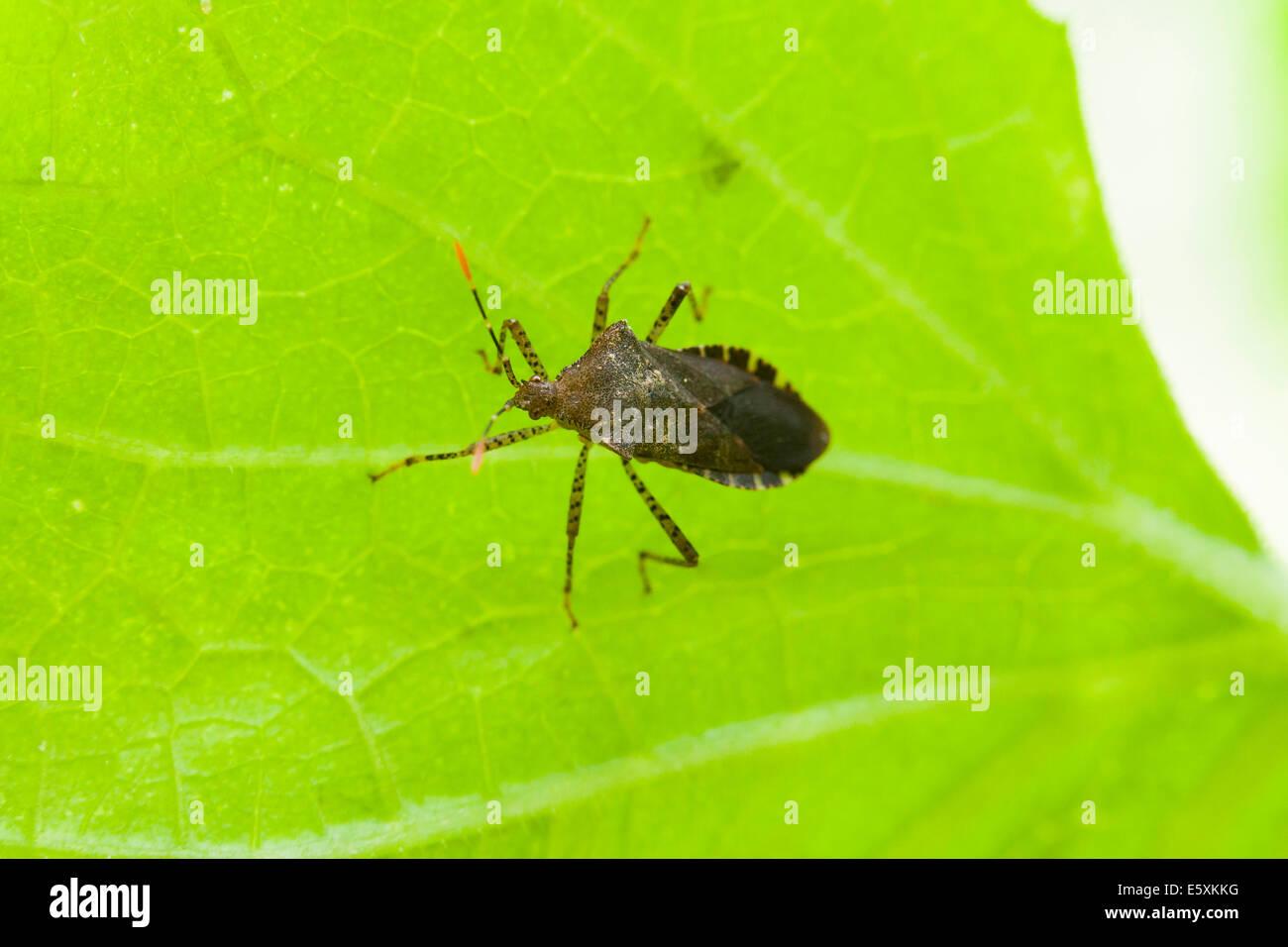 Squash bug (Anasa tristis) on vegetable leaf - USA - Stock Image