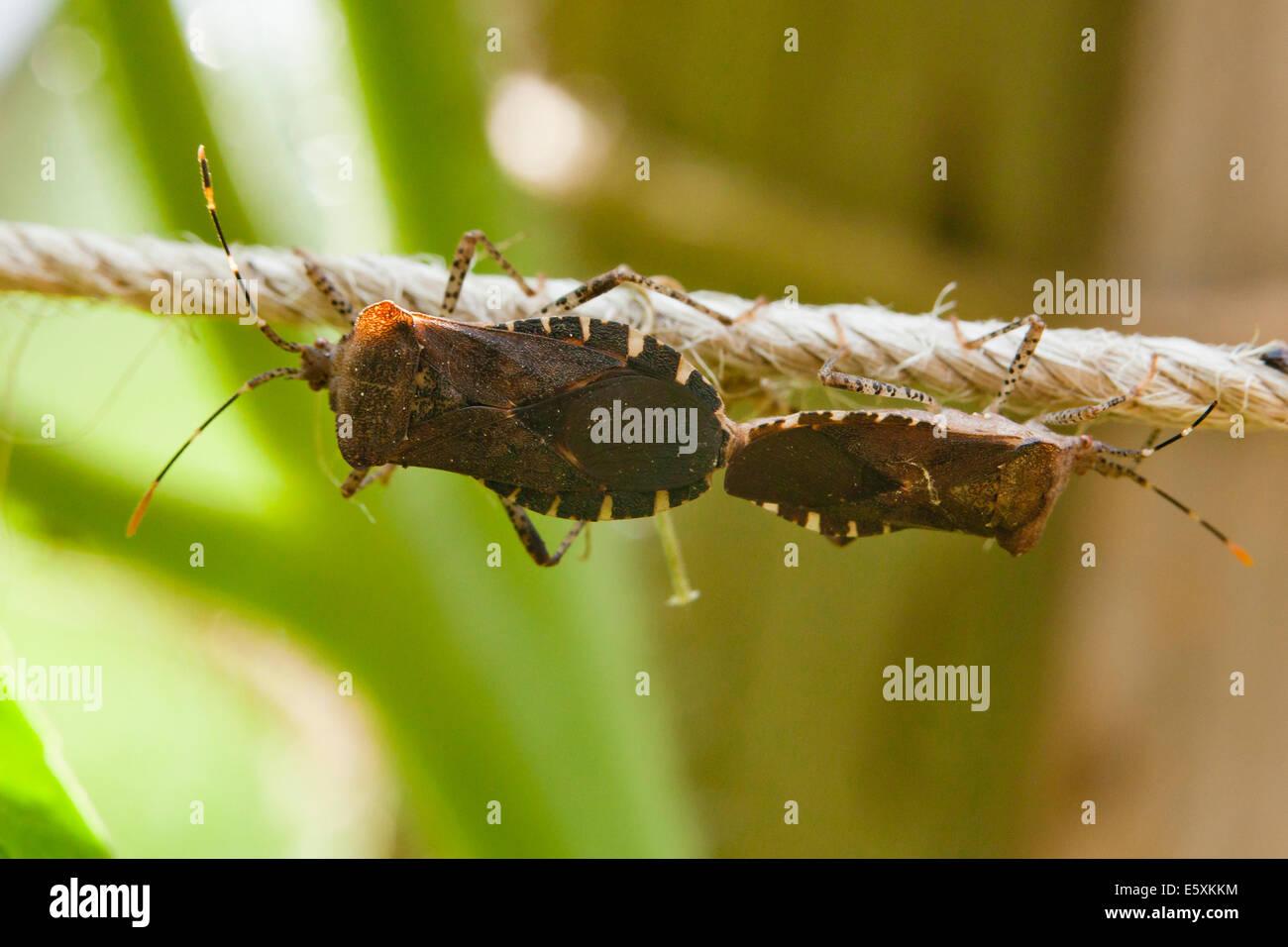 Squash bugs mating (Anasa tristis) - USA - Stock Image