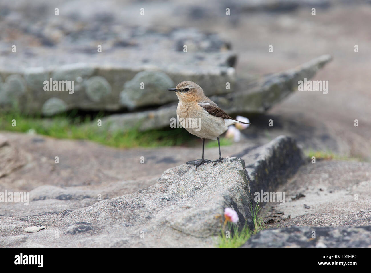 Female Northern Wheatear; Oenanthe oenanthe on a rock - Stock Image