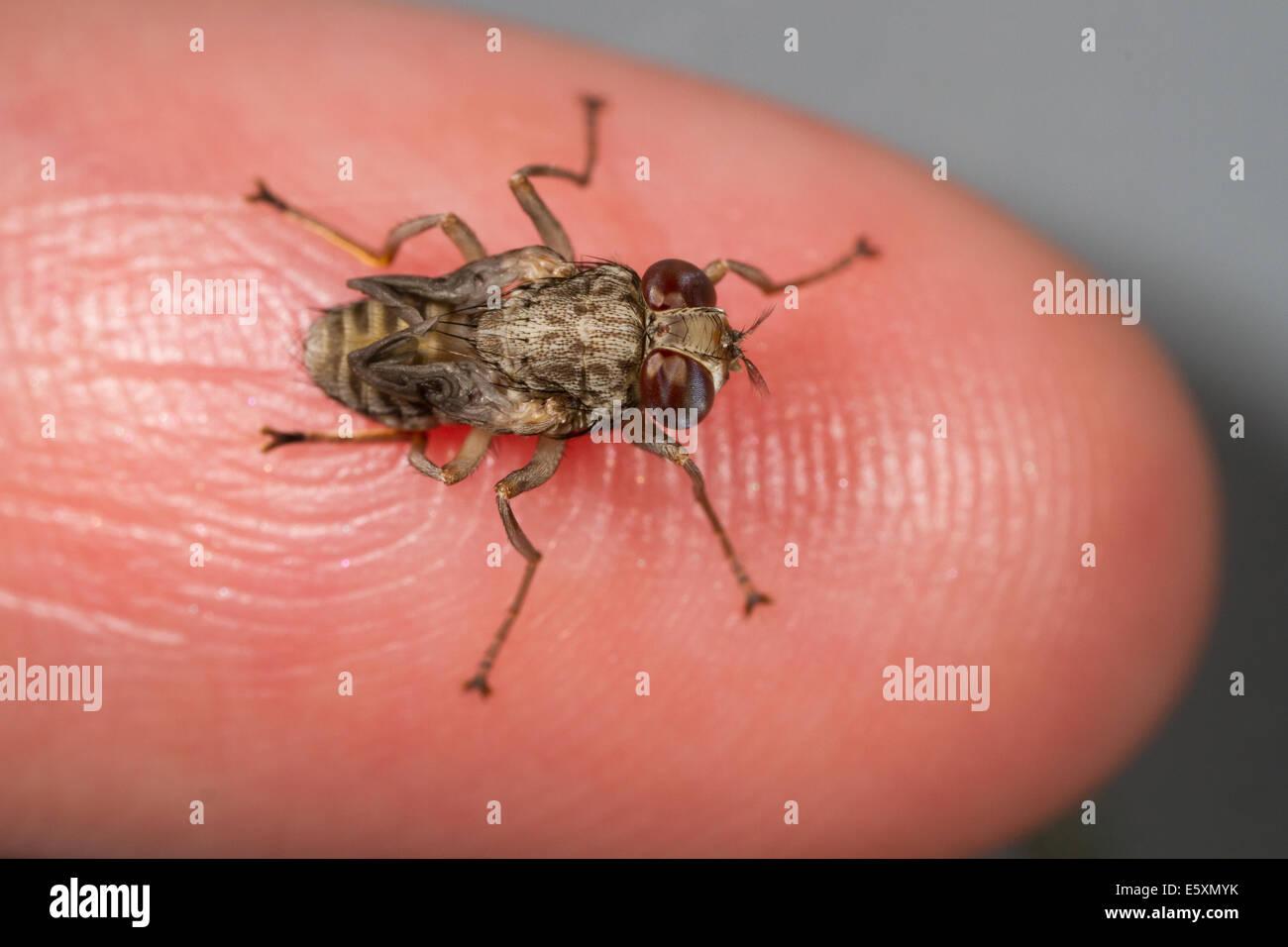 Freshly-emerged, 'spider-form' female Tsetse fly (Glossina morsitans) resting on tip of little finger - Stock Image