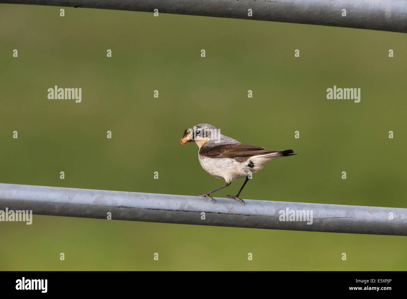 Male Northern Wheatear, Oenanthe oenanthe carrying food to young - Stock Image