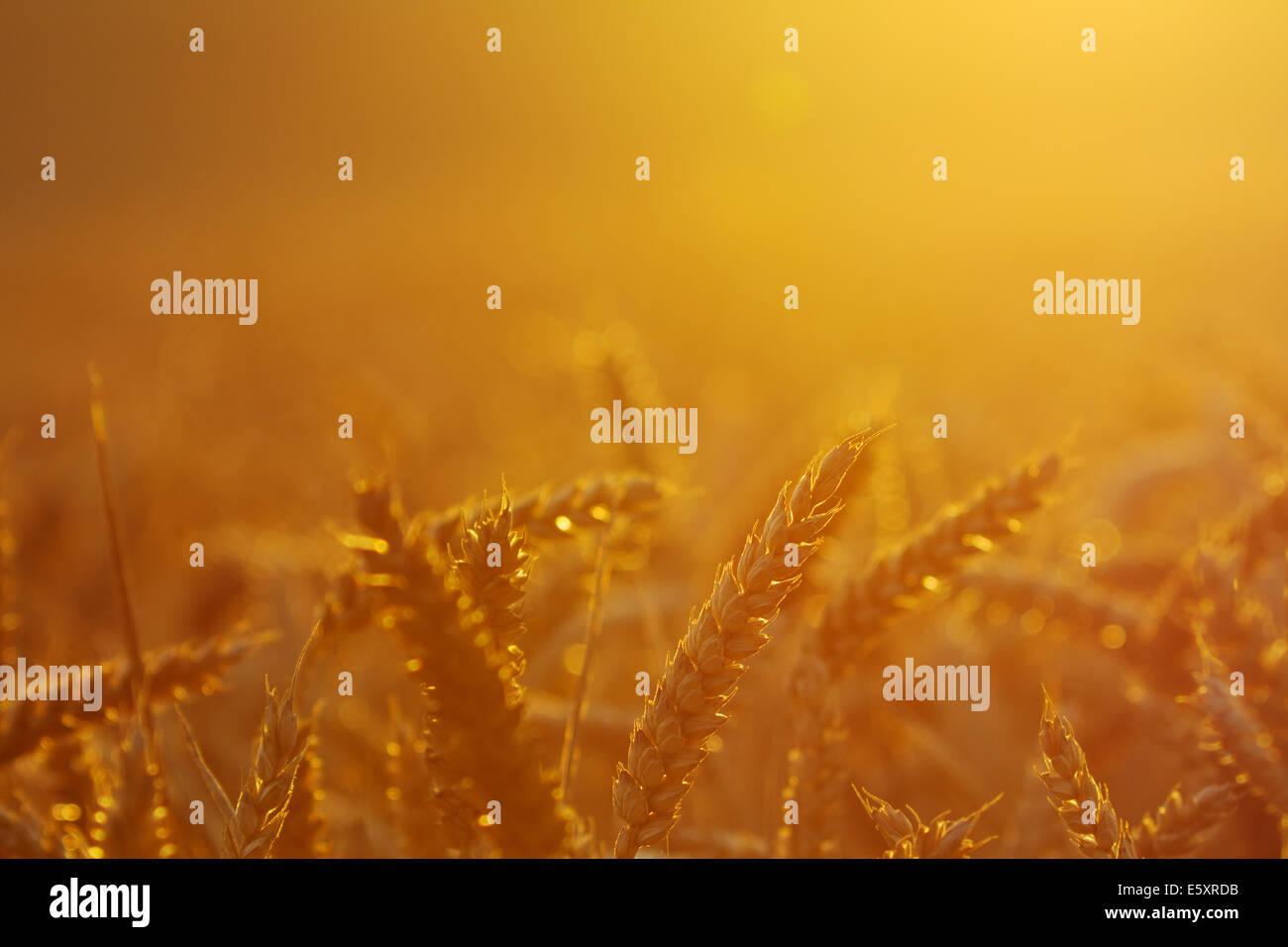 Wheat field by sunset, headlight, close-up - Stock Image