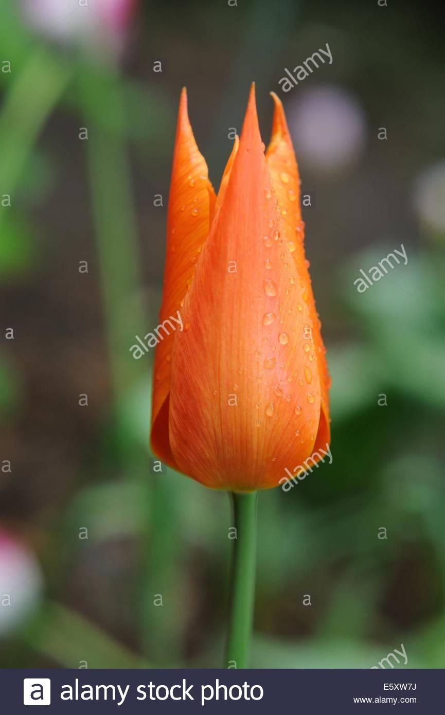 Tulipa 'Ballerina' tulip. - Stock Image