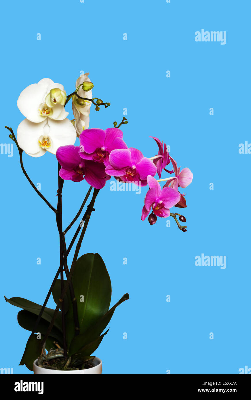white and magenta orchids isolated on blue background - Stock Image