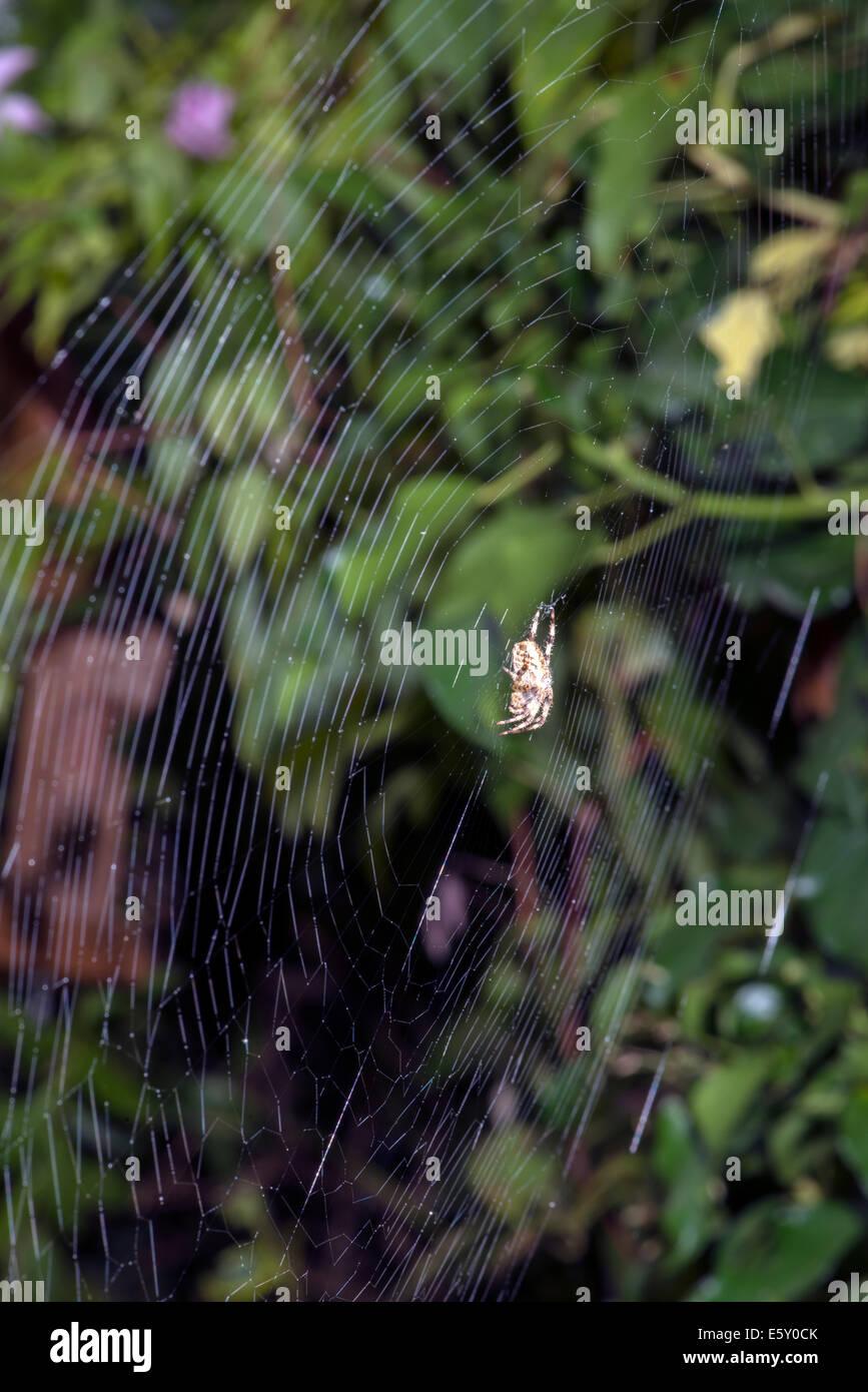 Garden Spyder (Araneus diadematus) on orb-web - Stock Image