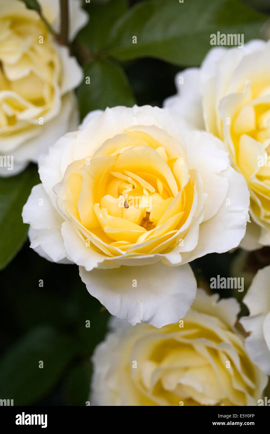 Rosa Irish Hope 'Harexclaim'. Yellow rose portrait. - Stock Image