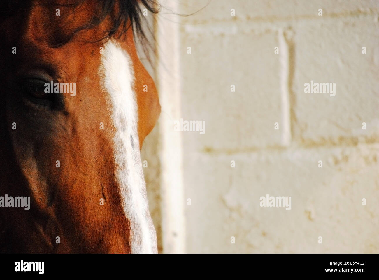 Bay horse's head with a white blaze at the left near the light gray brick wall - Stock Image