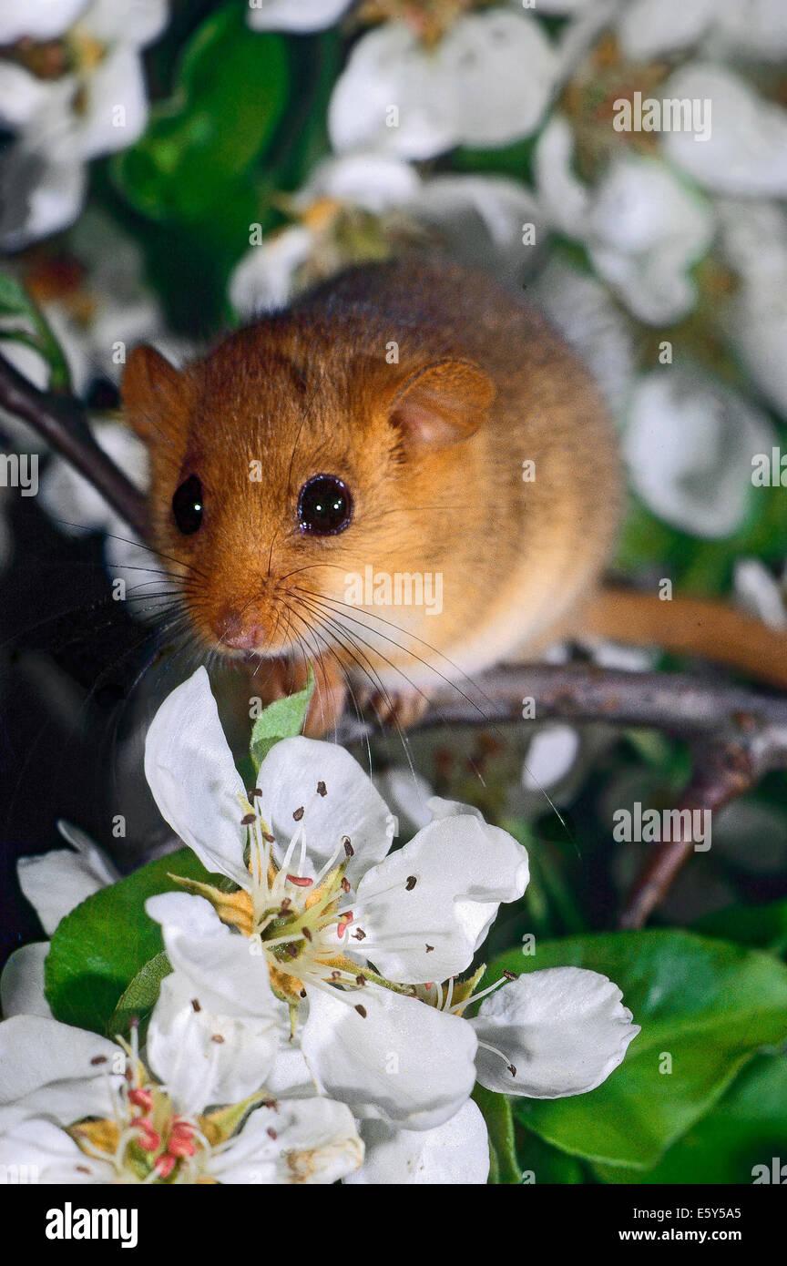Hazel Dormouse (Muscardinus avellanarius) among the blossoms of a pear tree - Stock Image