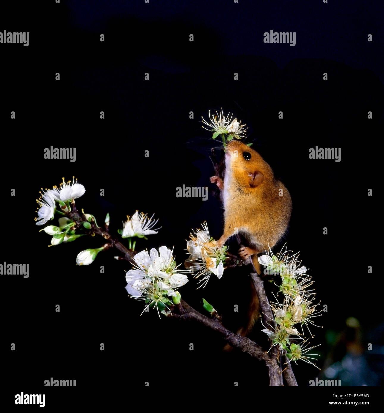 Hazel or Common Dormouse (Muscardinus avellanarius) on branch of wild pear tree blooming - Stock Image