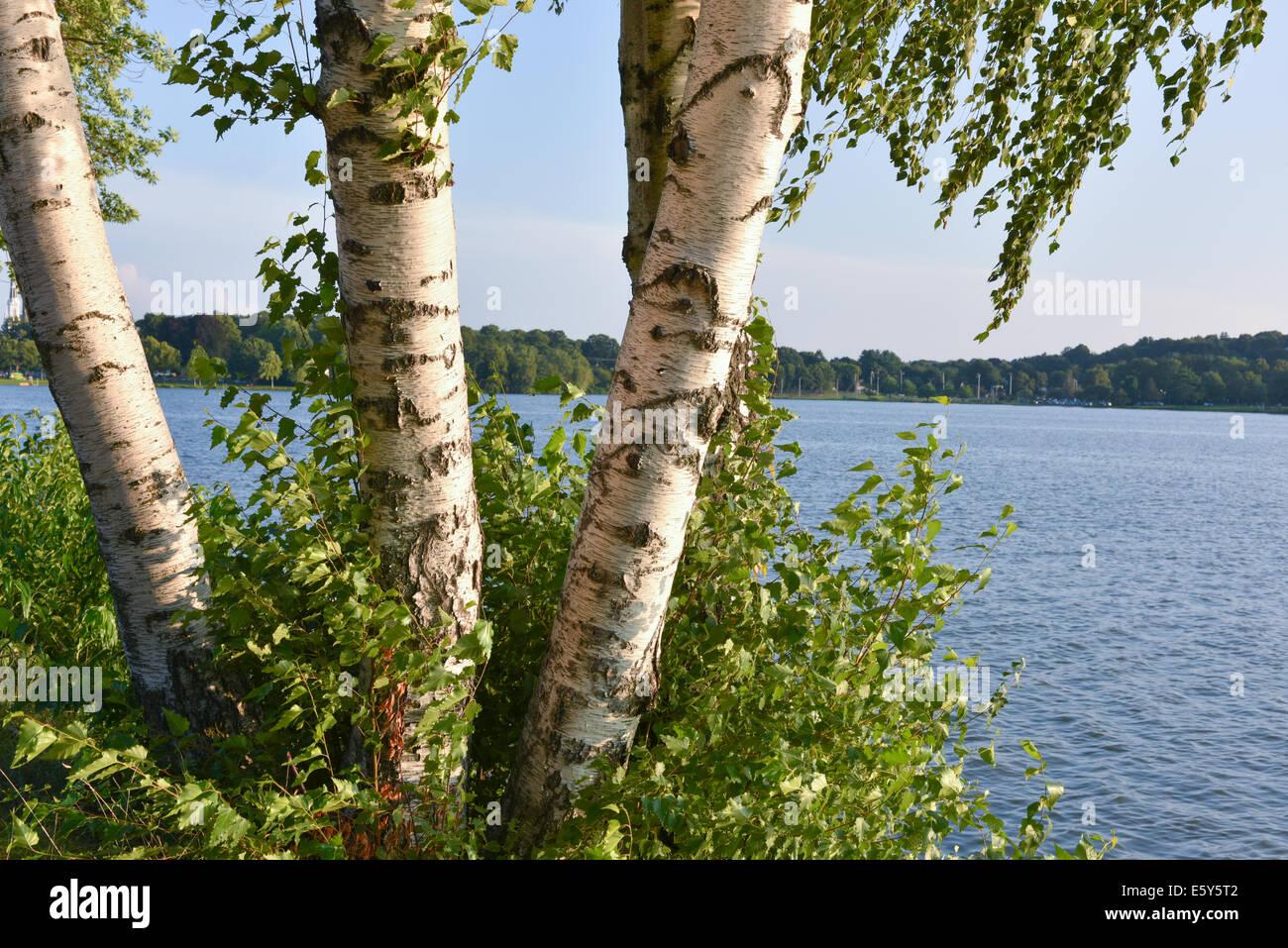 Birch grove - Stock Image