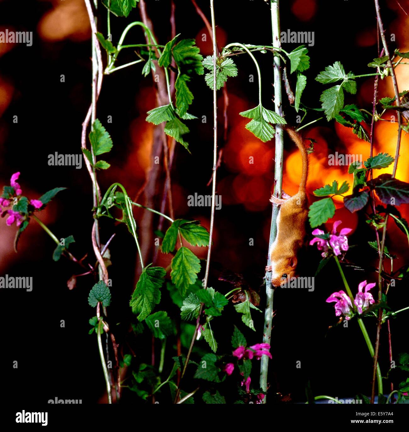 Hazel Dormouse (Muscardinus avellanarius) climbing on the stems  of a blackberry bush at sunset. - Stock Image
