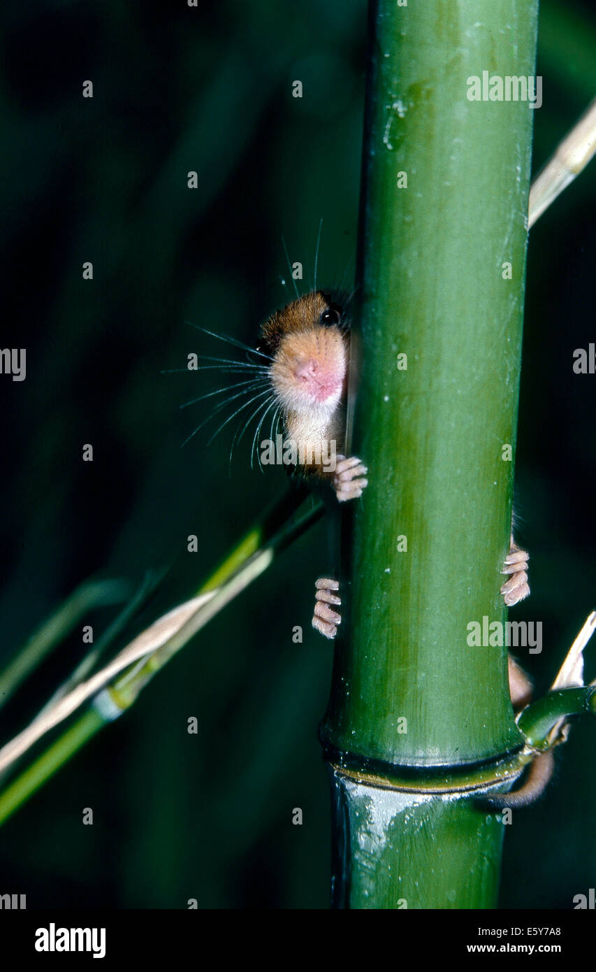 Hazel Dormouse (Muscardinus avellanarius) that is hidden behind a bamboo - Stock Image