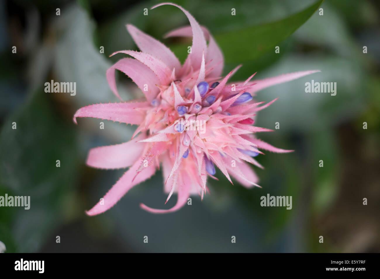 Aechmea fasciata taken in Okinawa in the Animal Parc - Stock Image