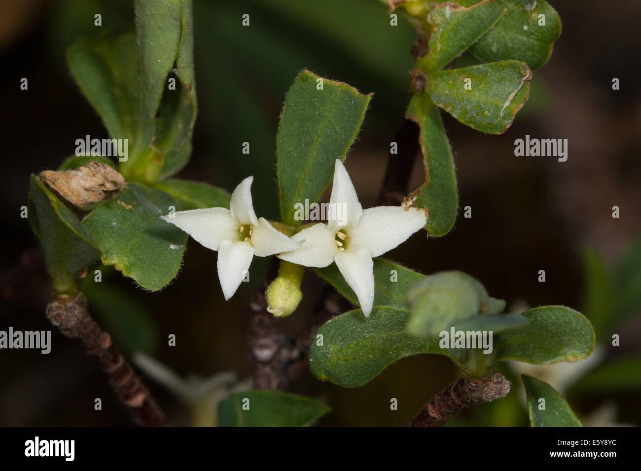 Alpine Mezereon (Daphne alpina) flower - Stock Image