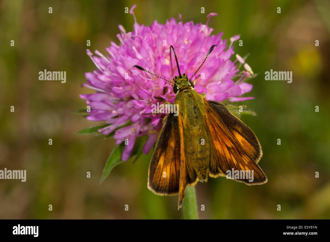 Large Skipper (Ochlodes venatus) feeding on Field Scabious flower - Stock Image