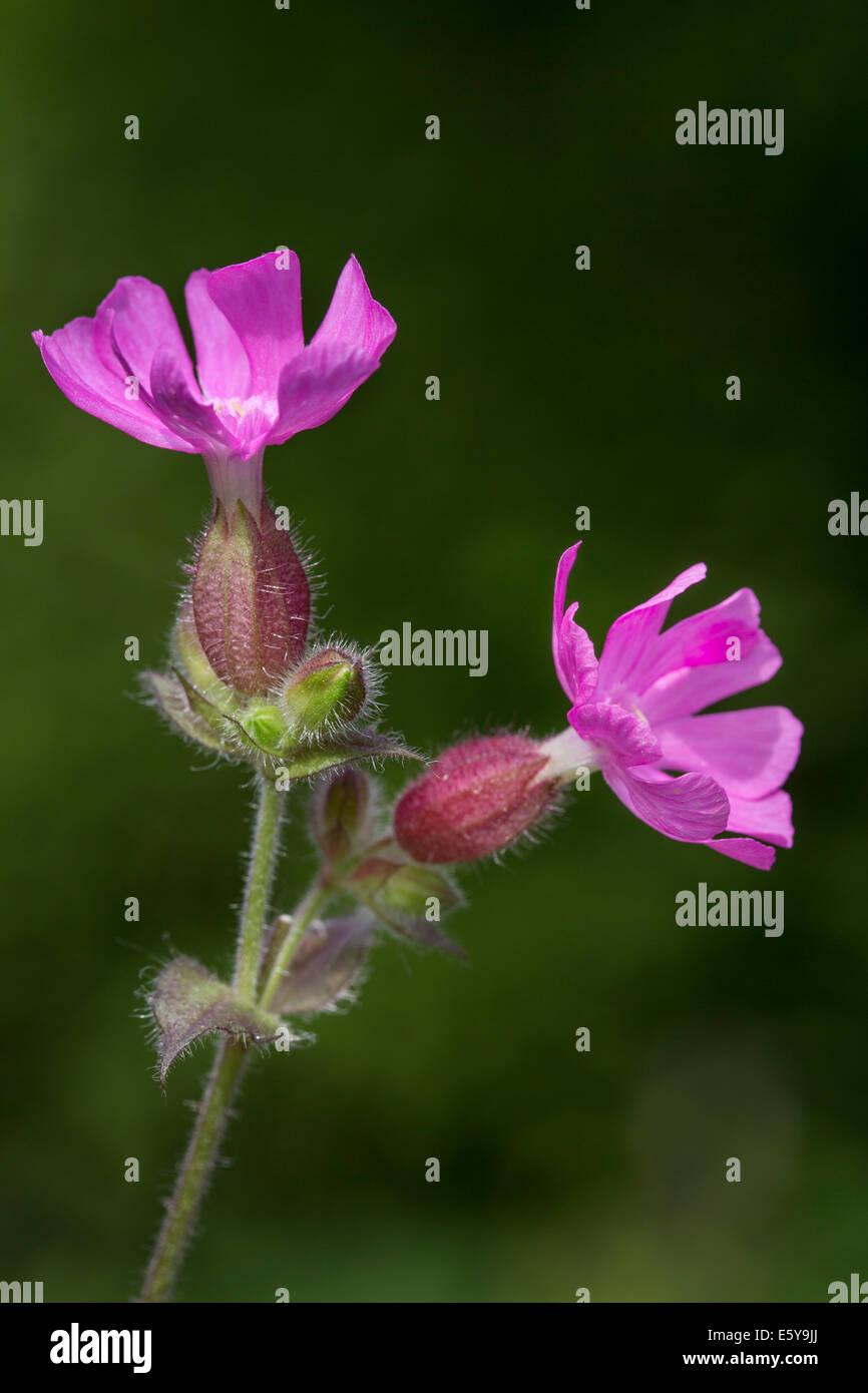 Red campion (Silene dioica / Melandrium rubrum / Lychnis diurna) in flower Stock Photo