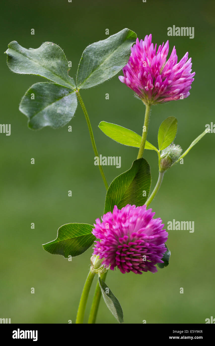 Red clover (Trifolium pratense) in flower - Stock Image