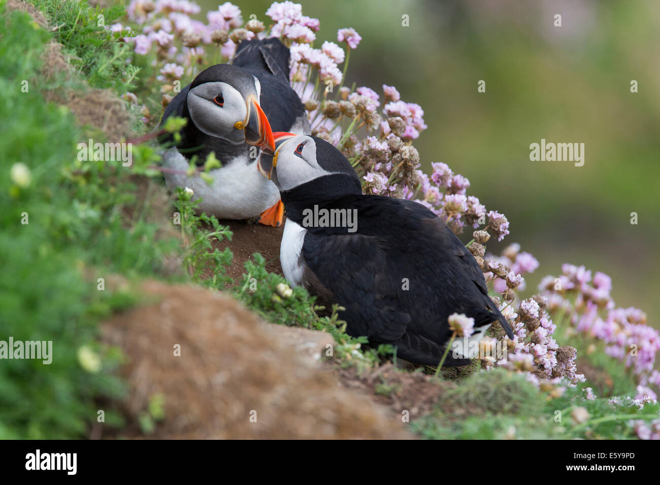 Puffin, Fratercula pair preening - Stock Image