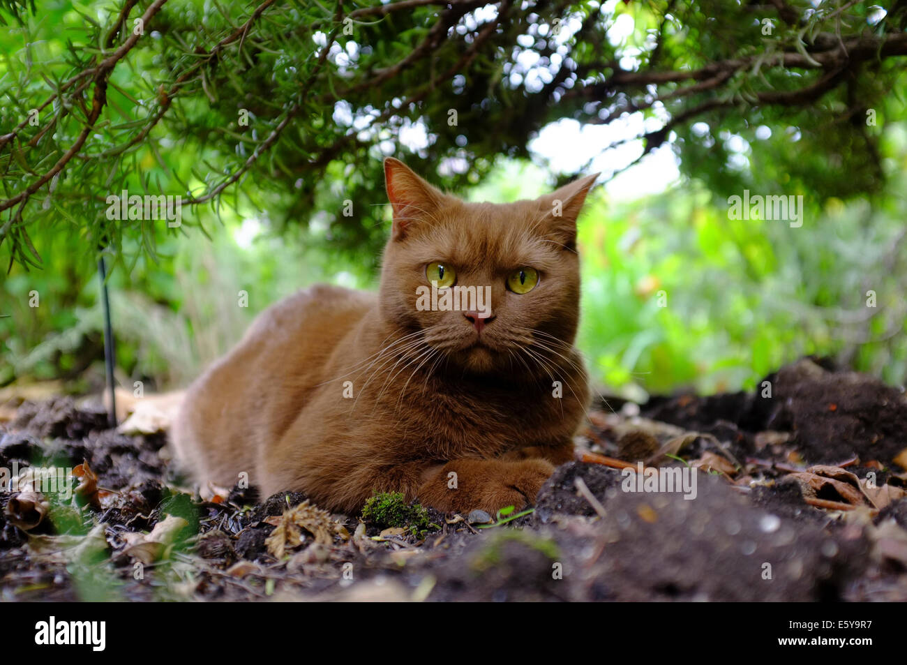 Havana Brown Cat Stock Photos & Havana Brown Cat Stock Images - Alamy