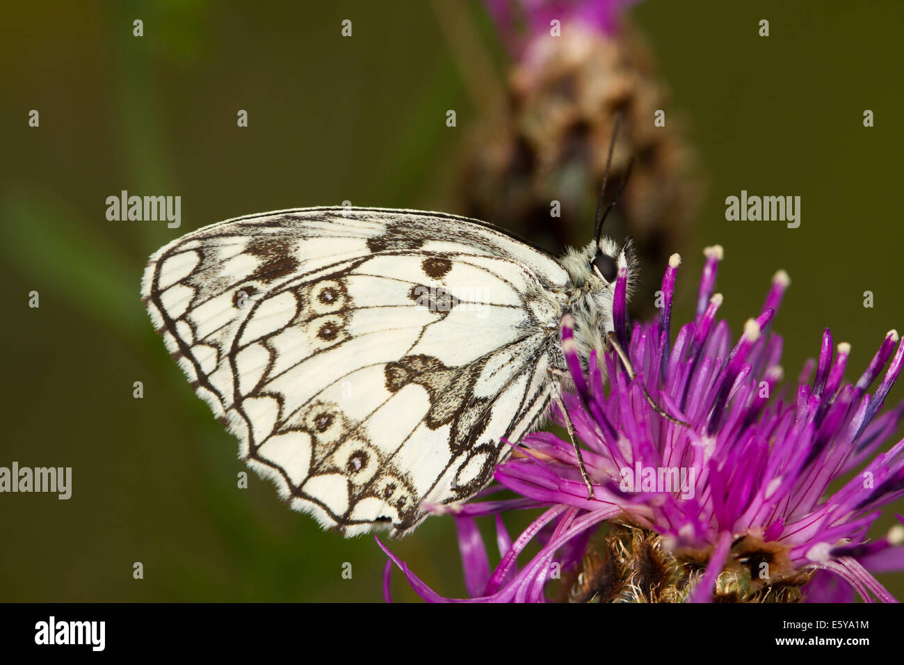 Marbled White (Melanargia galathea) butterfly feeding on a Greater Knapweed flower - Stock Image