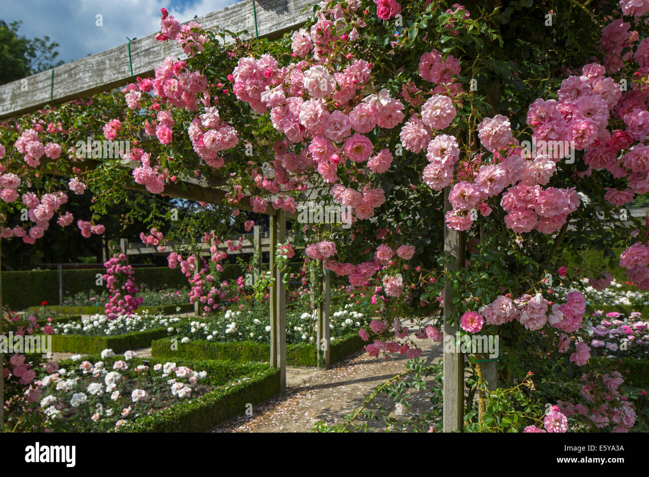 Pink roses flowering in the Coloma Rose Garden at Sint-Pieters-Leeuw, Flemish Brabant, Flanders, Belgium - Stock Image