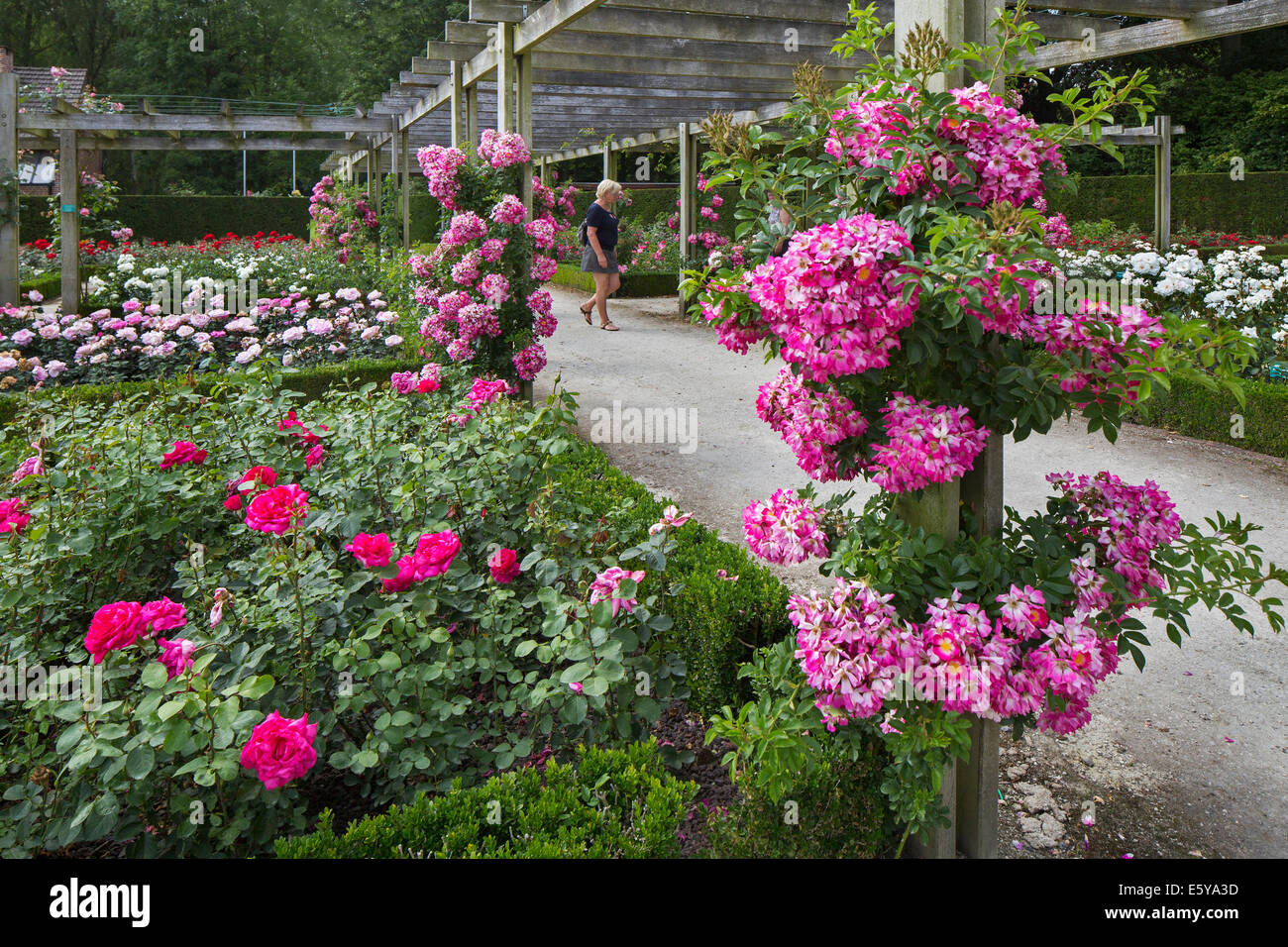Roses flowering in the Coloma Rose Garden at Sint-Pieters-Leeuw, Flemish Brabant, Flanders, Belgium - Stock Image