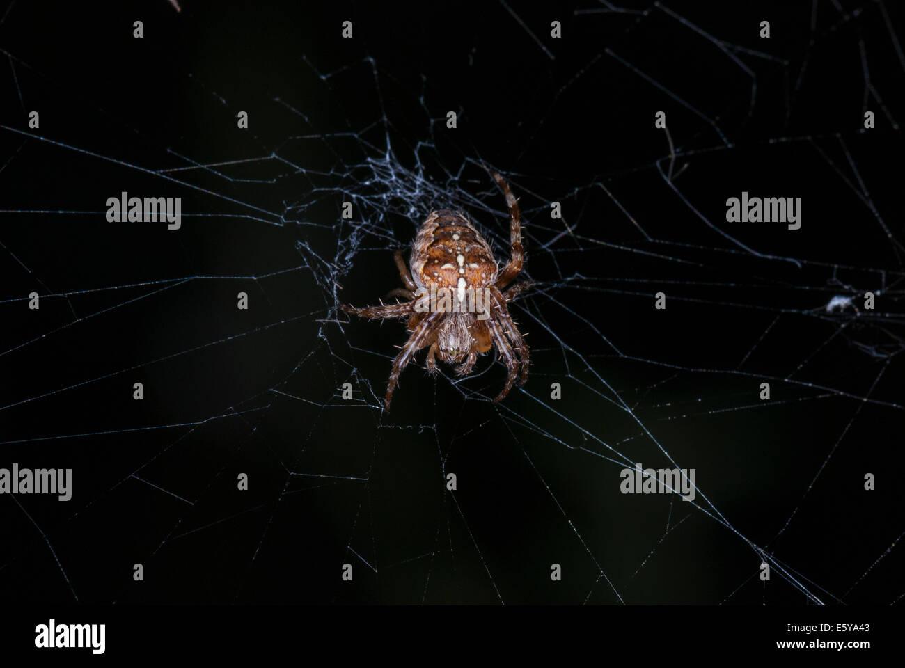 A dorsal view of a female Garden Spider, Araneus diadematus, lit up against a dark background - Stock Image