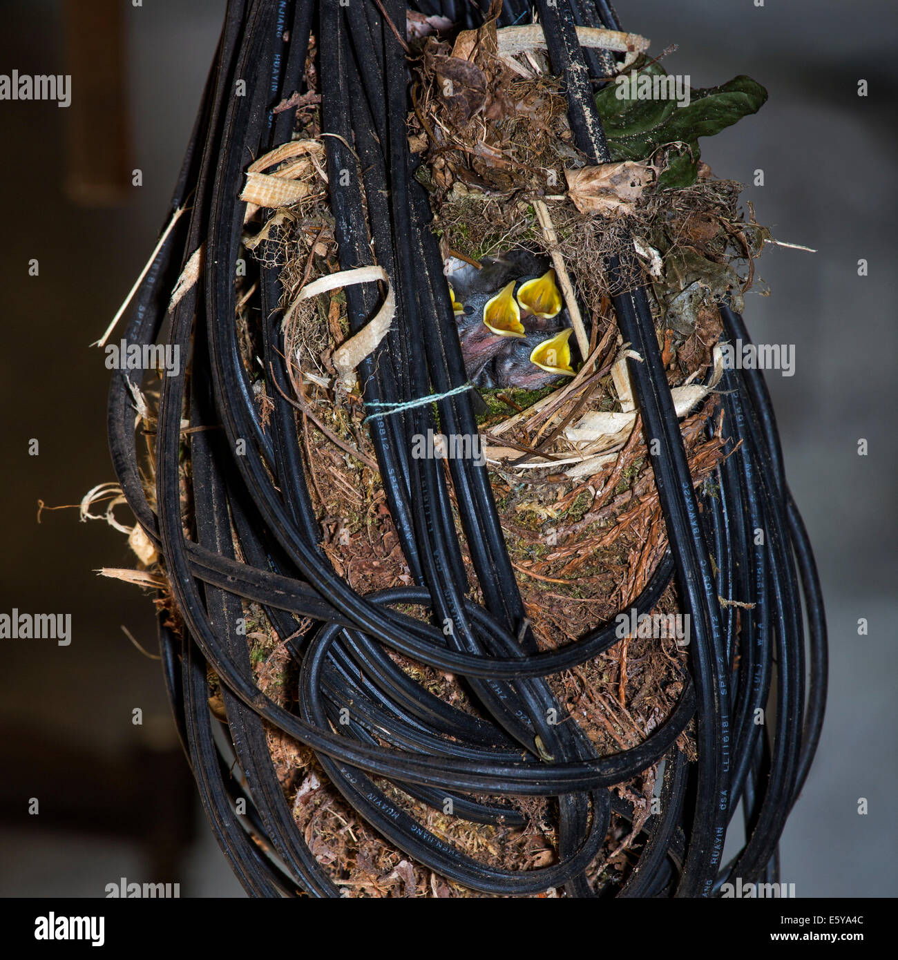 Eurasian Wren (Troglodytes troglodytes) nest with hatchlings made in tangled electric wire in garage of house - Stock Image