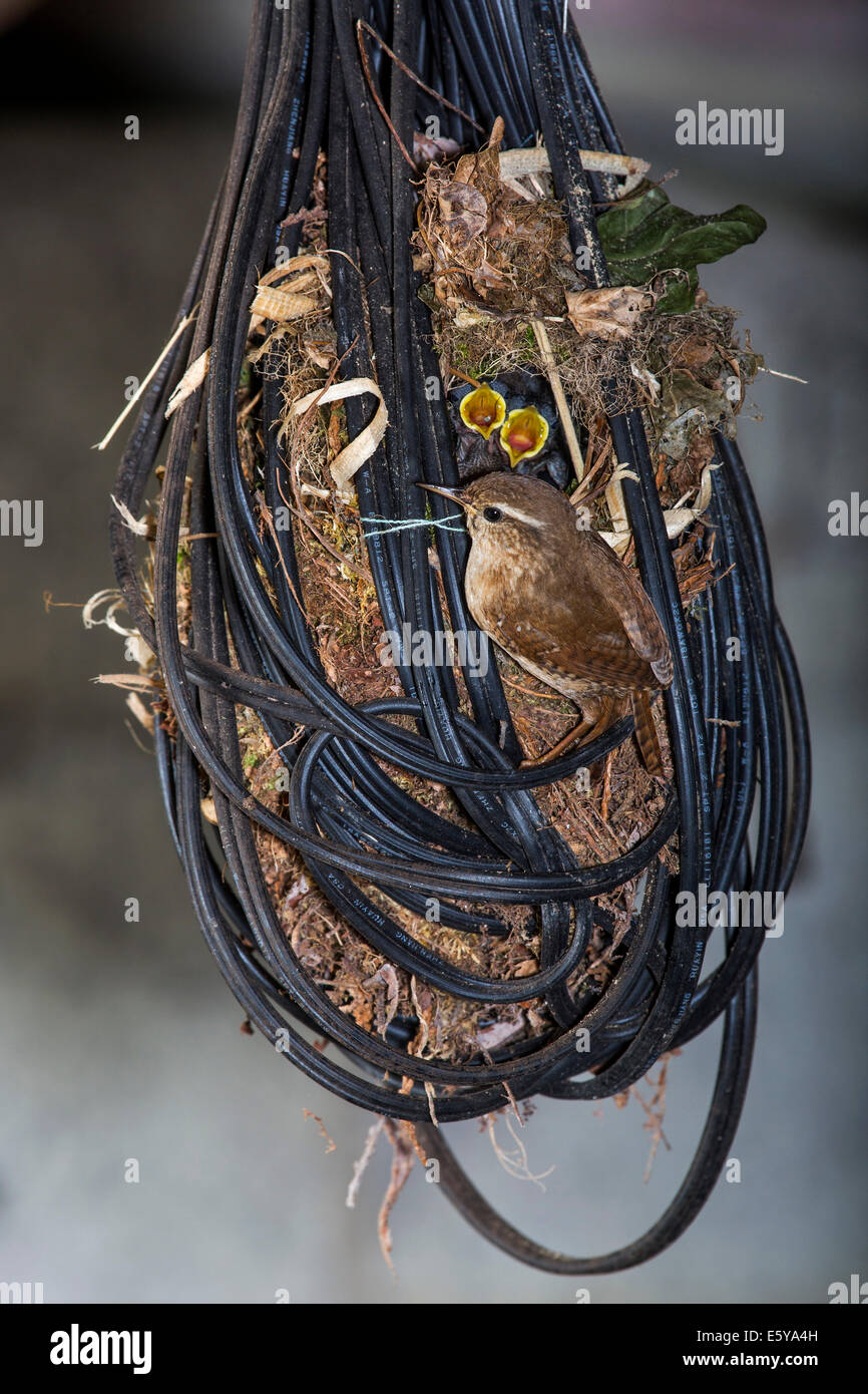 Eurasian Wren (Troglodytes troglodytes) and hatchlings in nest made in tangled electric wire in garage of house - Stock Image