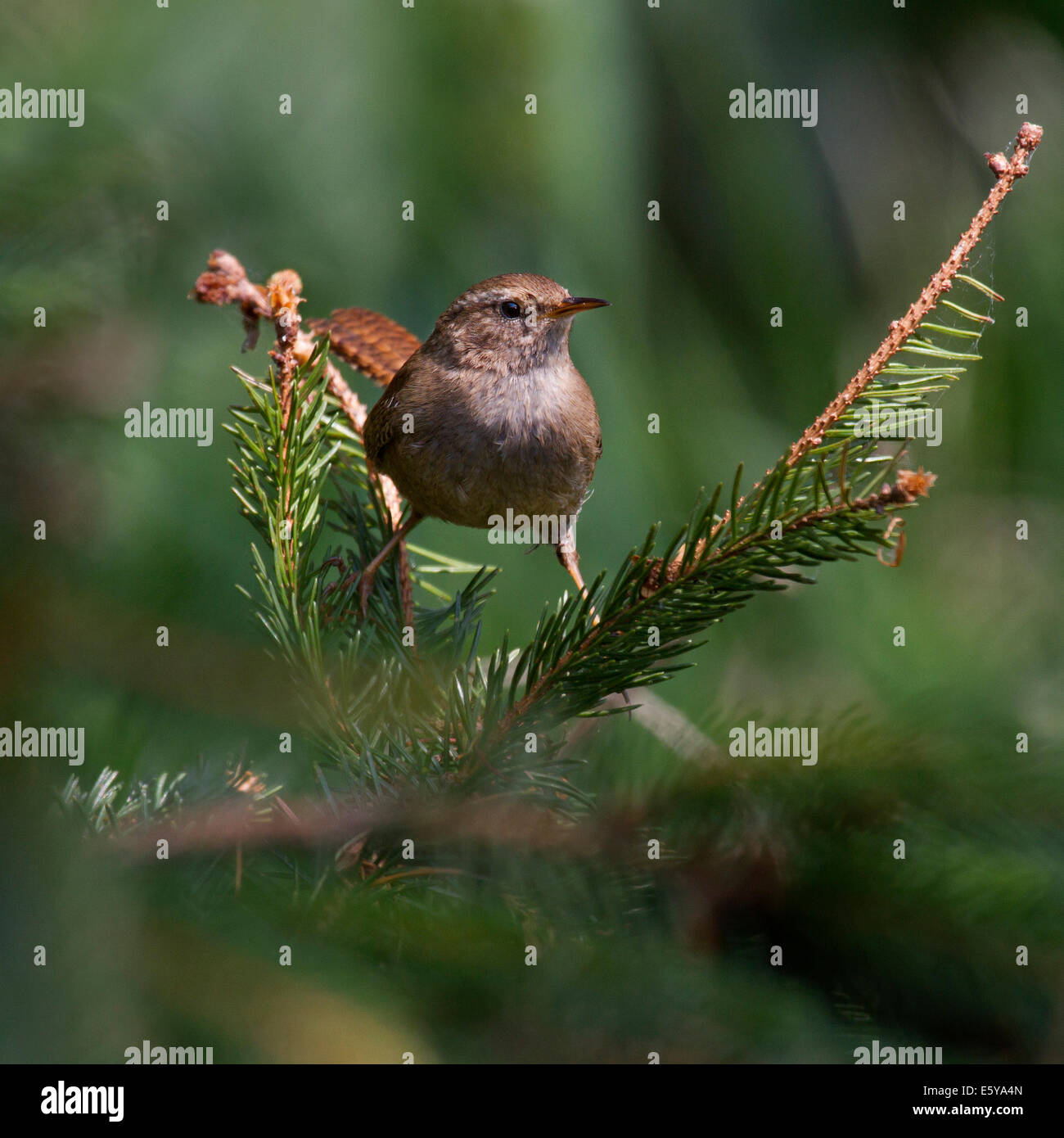 Eurasian Wren (Troglodytes troglodytes) perched on branch in pine tree - Stock Image