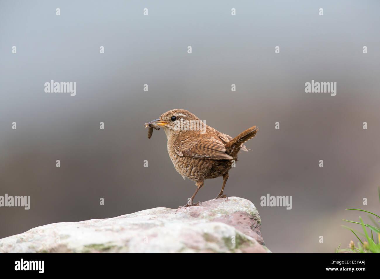 Shetland Wren, Troglodytes troglodytes zetlandicus feeding young - Stock Image