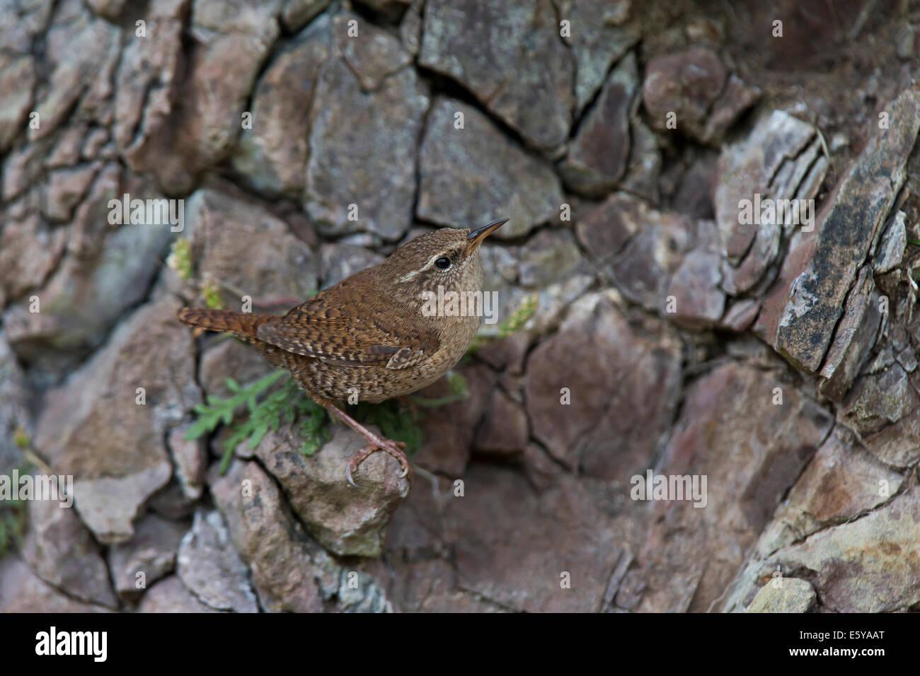 Shetland Wren, Troglodytes troglodytes zetlandicus returning to nest - Stock Image