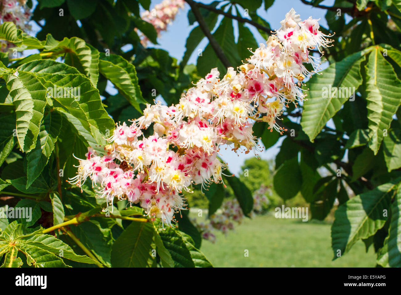 Horse-chestnut tree, Aesculus hippocastanum, with spring flowers in bloom Stock Photo