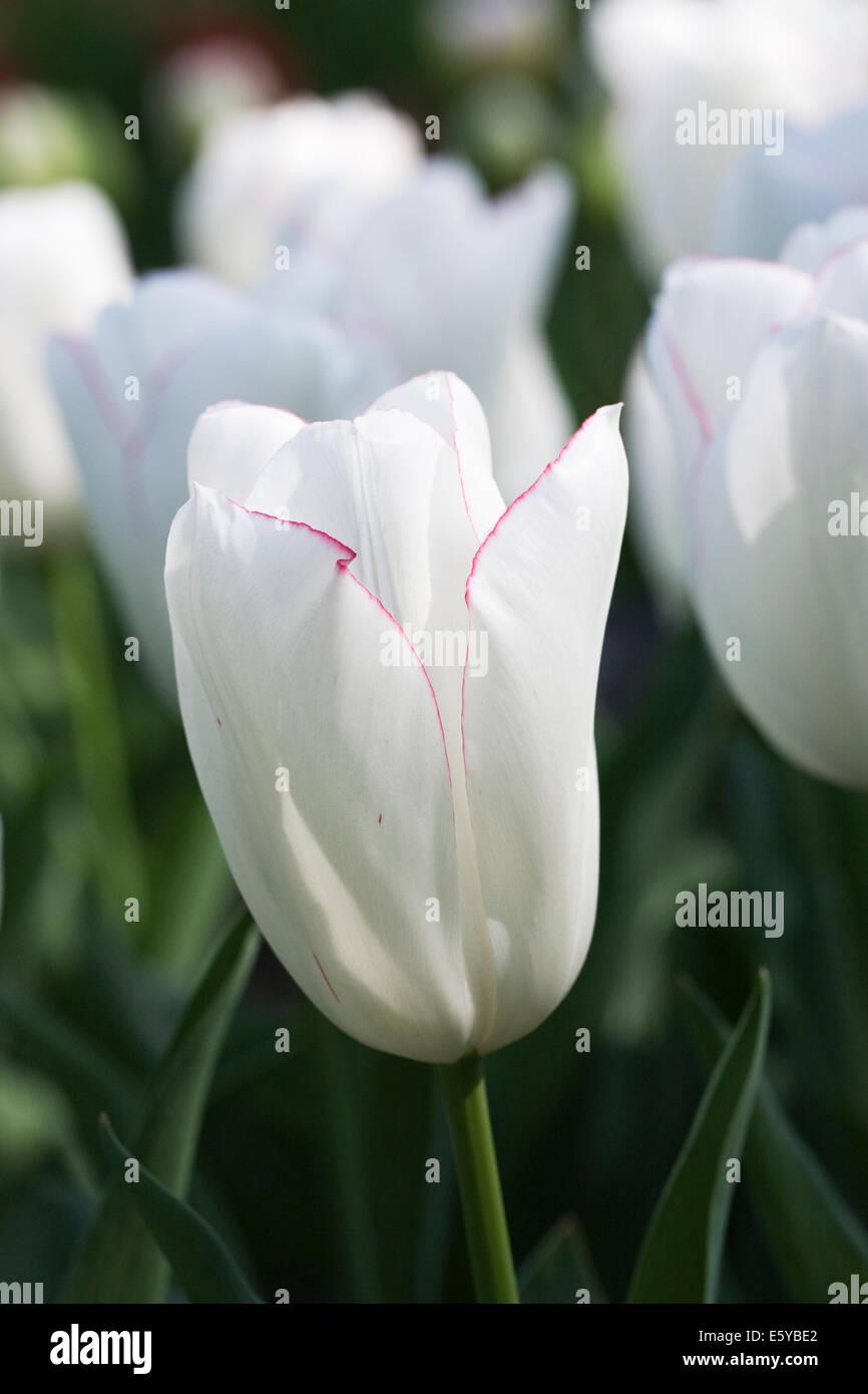 Tulipa 'Diamond Jubilee'. White Tulip in a Spring garden. - Stock Image