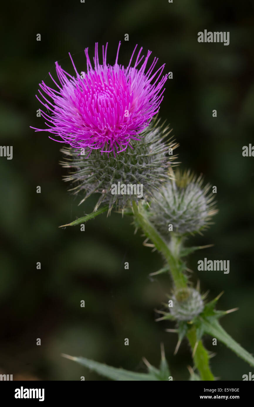 Spear Thistle (Cirsium vulgare) flower - Stock Image
