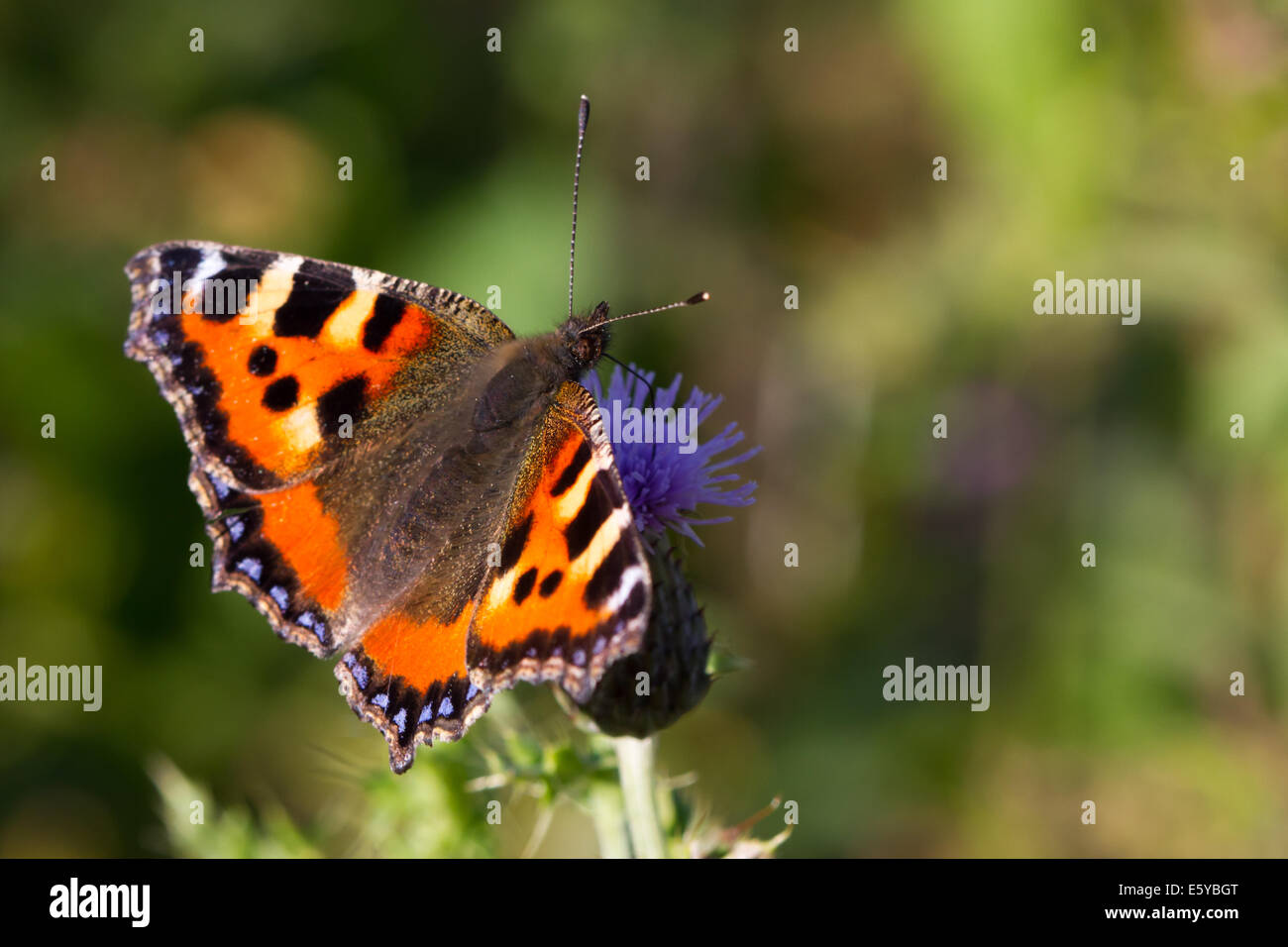 Small Tortoiseshell (Aglais urticae) feeding on a Creeping Thistle flower - Stock Image