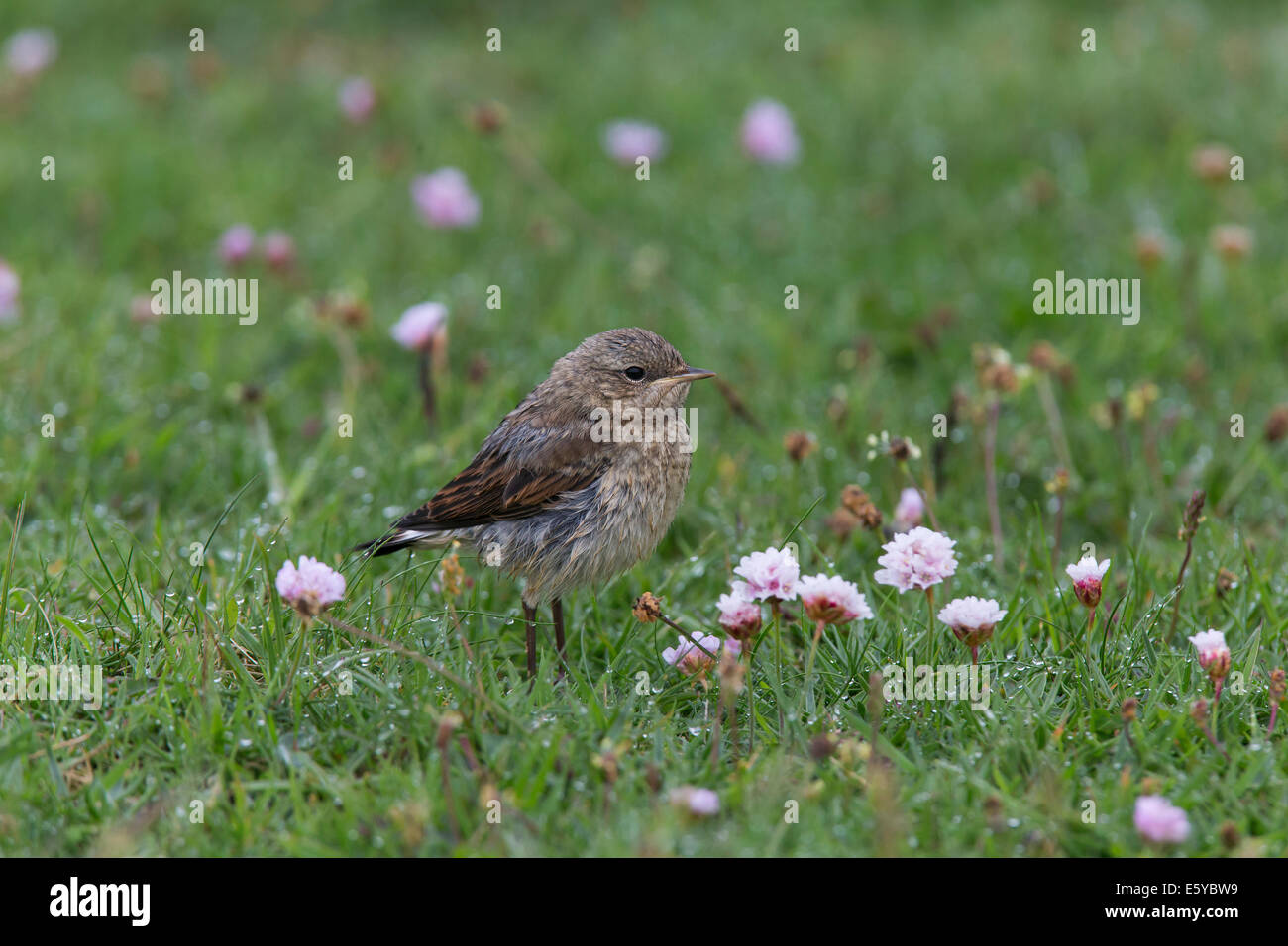 Young Northern Wheatear, Oenantha oenanthe in the rain - Stock Image